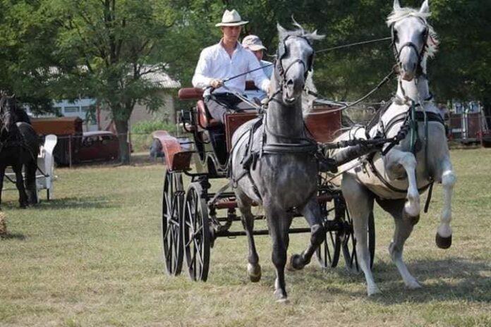 Konji naši razigrani